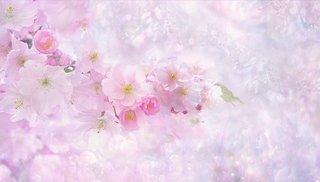 cherry-blossom-3054799_1280.jpg